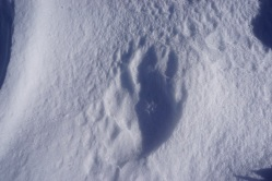 Fußabdruck von Babybär?