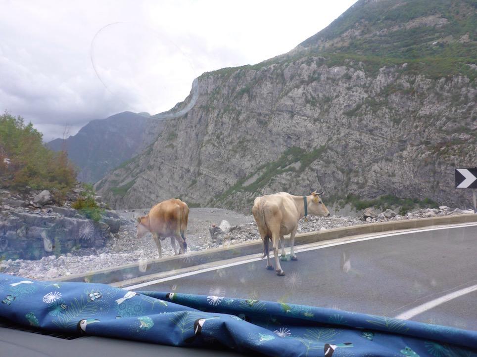 Kühe Albanien