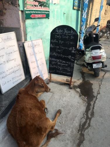 Kuh in Tapovan.