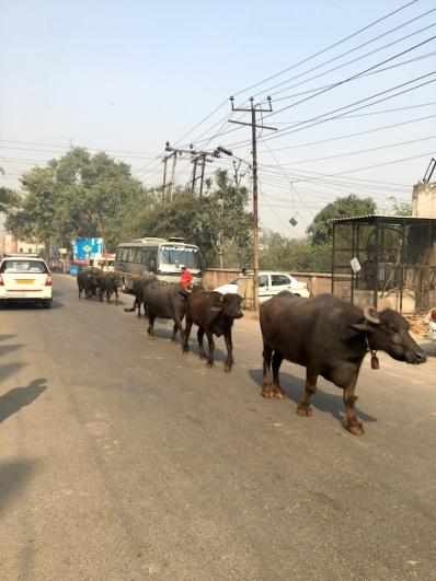 Büffel in Agra.