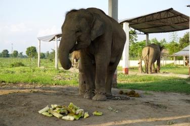 Arbeitselefant beim Abendessen.