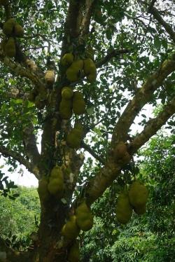 Riesige Früchte..