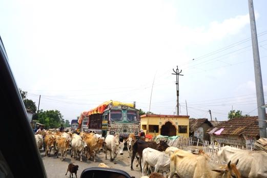 Kühe an der Grenze zu Bangladesh.