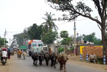Wasserbüffel als Verkehrsteilnehmer.