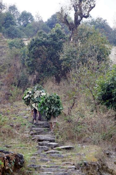 Nepalesen tragen die Blätterernte nach Hause.