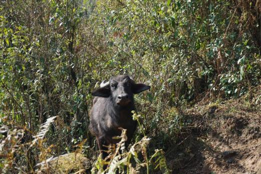 Da kommt ein Wasserbüffel.