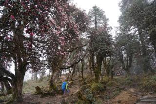 Der Rhododendron blüht.