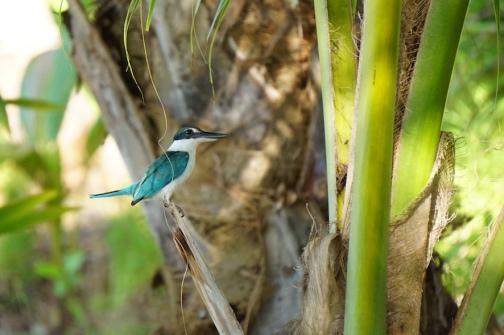 Einer der seltenen Vögel in Sumatra.