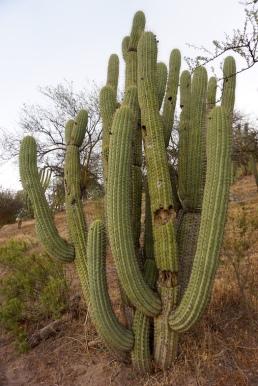 Kaktus II.
