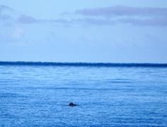 Delfinpärchen.