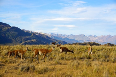 Guanacos im Patagonia Park.